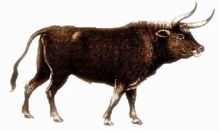 El Origen del toro de lidia (1)